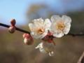 岡山の梅をアップで