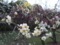 後楽園で梅咲いてます