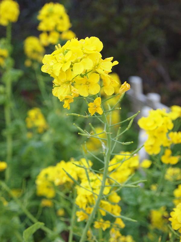 路上の菜の花