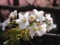 大島桜、咲いてます