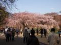 大手サークル枝垂桜