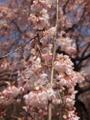 その大手サークル枝垂桜のアップ
