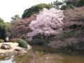 玉藻池の桜のアーチ、丁度良い時期