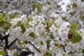 大島桜は葉っぱが好きです