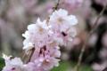 早咲きの枝垂れ桜はそろそろ終わり
