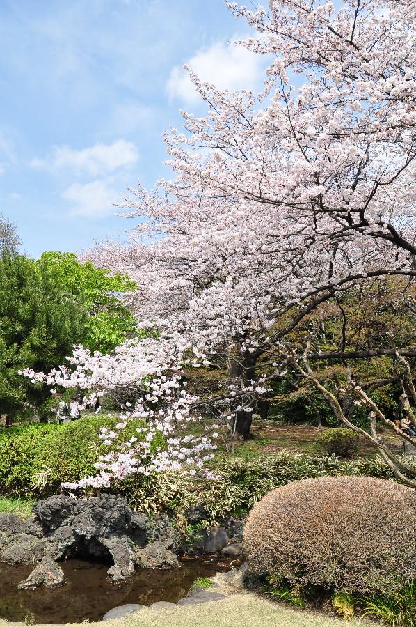 桜に小川に