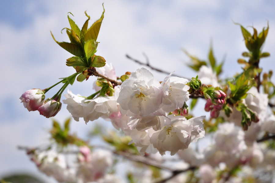 八重桜も咲き始めた