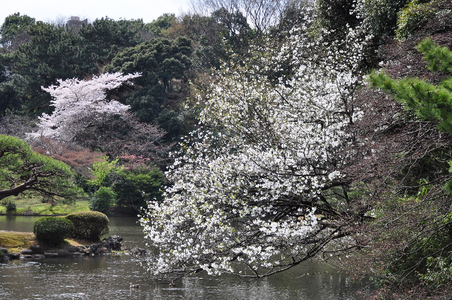 此処の桜は何時も水に付きそう
