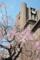 安田講堂に桜