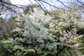 三四郎池に咲く桜