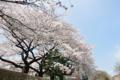 御殿下の桜並木
