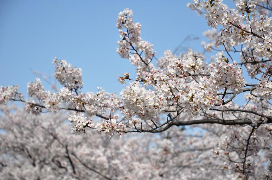 人をよけて桜を撮影