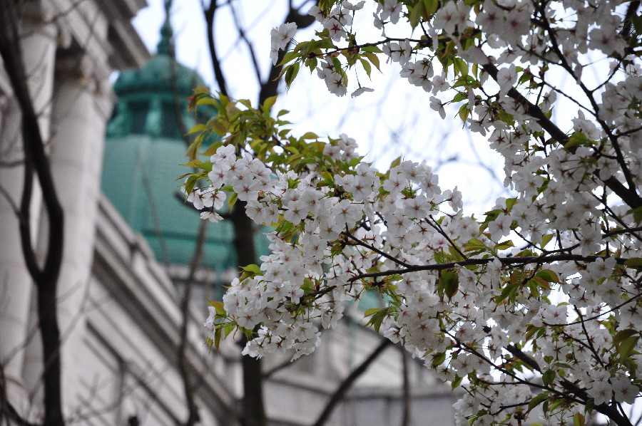 東博の大島桜