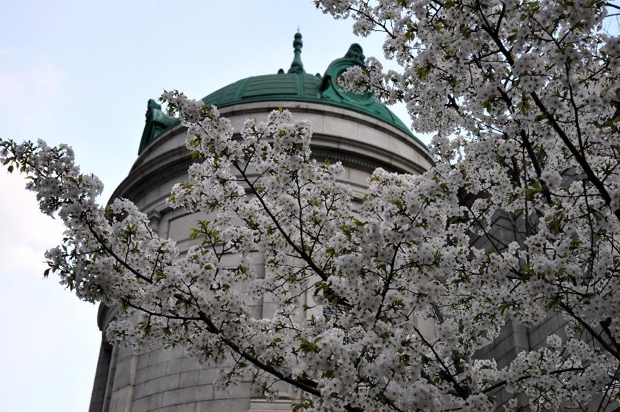 表慶館に桜が合います
