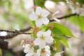 大島桜はそろそろお終い