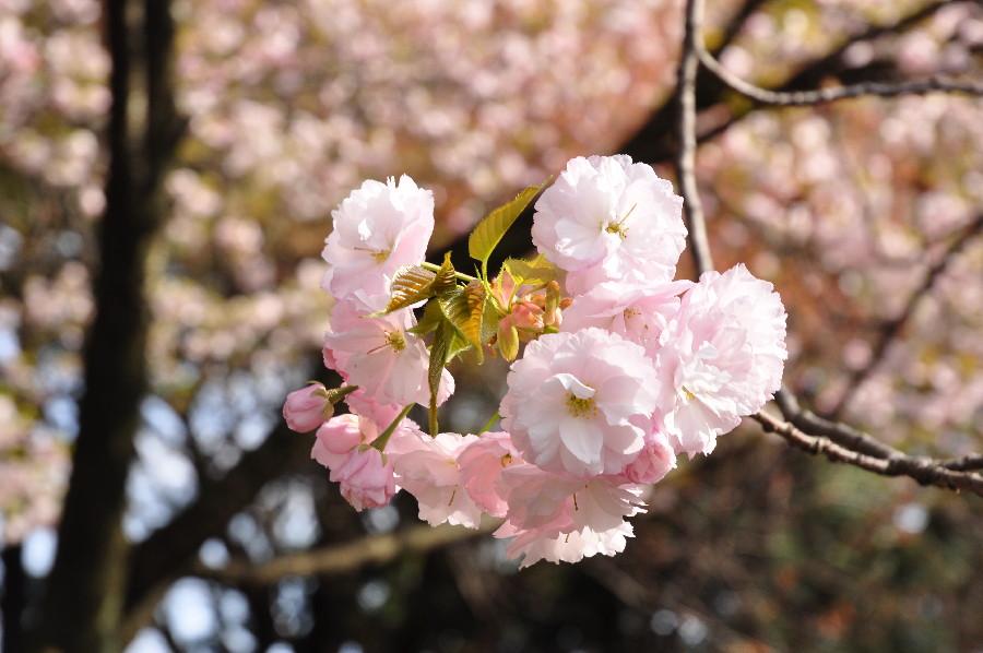 八重桜のぼんぼん