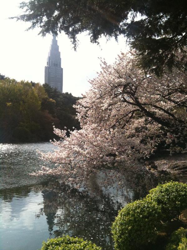 池に満開の桜