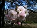 盛り上がり始めた八重桜