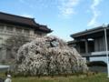 本館前のヨシノシダレ
