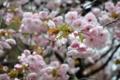 八重桜、只今見頃まっしぐら