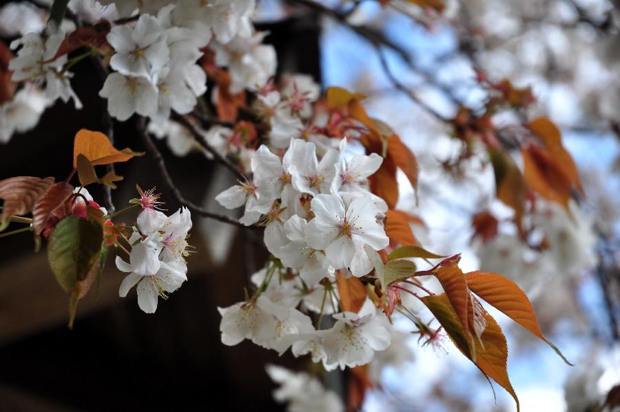 葉っぱを塩漬けにして桜餅にして……
