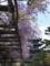 藤棚と五重塔