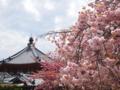 南円堂の前に八重桜