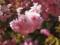 とても明るい八重桜ポンポン