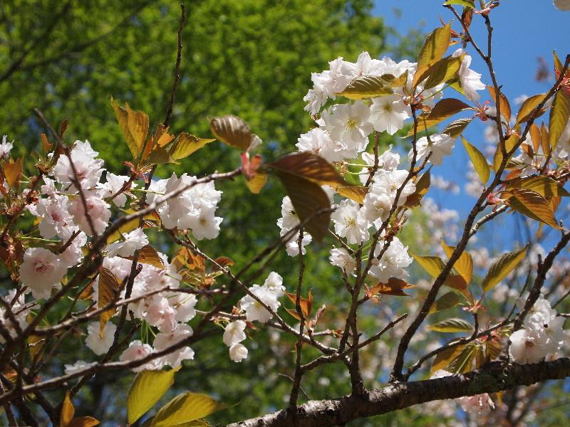 静香、という桜