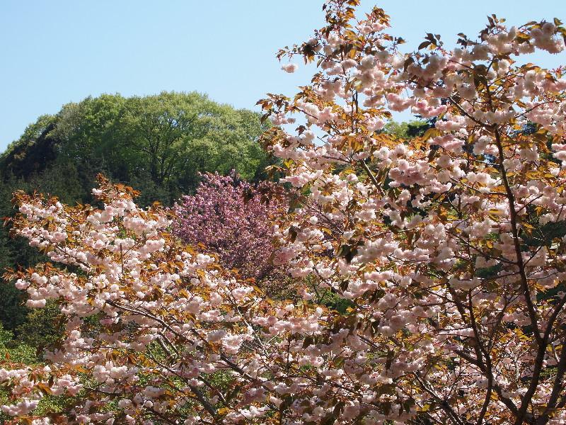 八重桜に八重桜