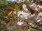 品種名は「奈良の八重桜」