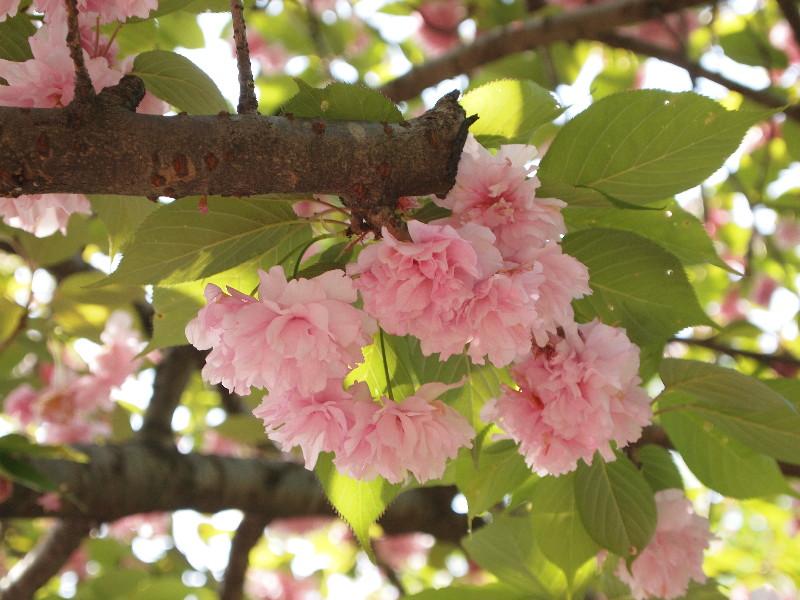 江戸東京たてもの園でもお花見