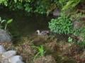 鴨は水に入る