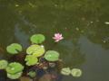 ハスの花咲く