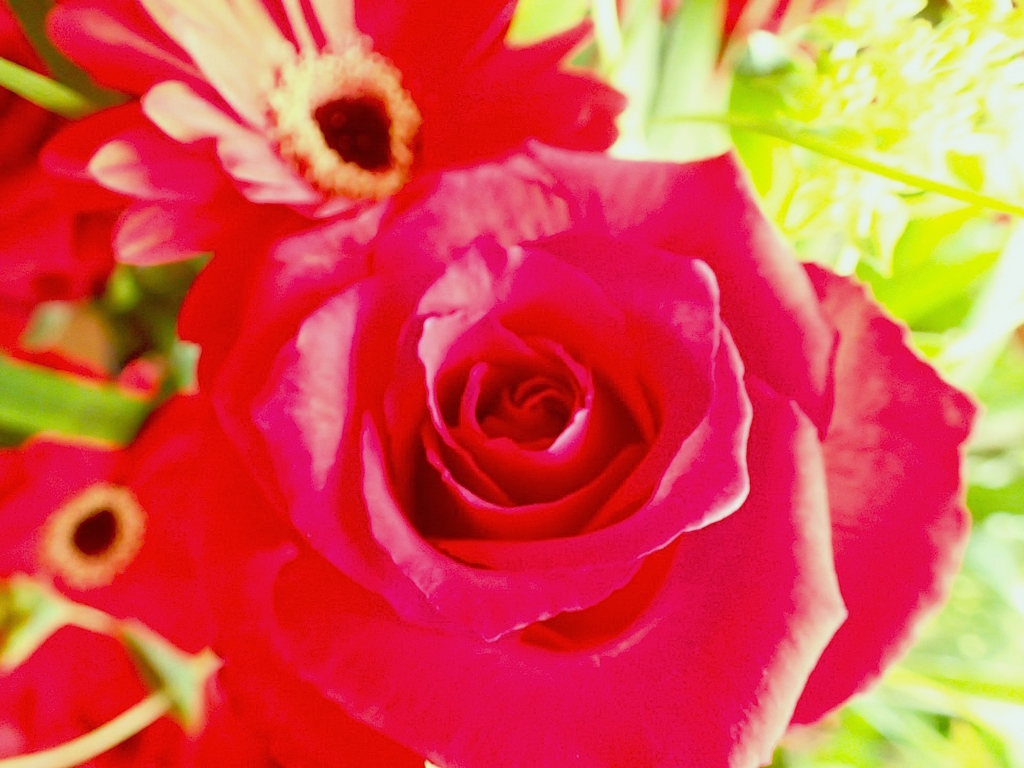 赤いバラのズーム