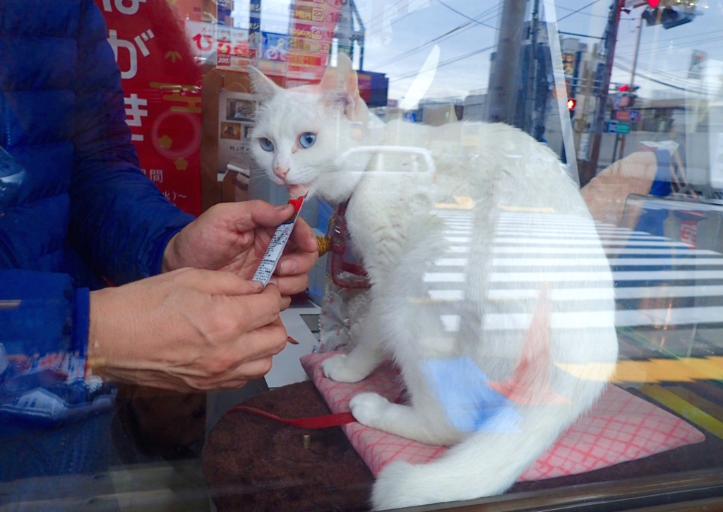 白いリアル招き猫マコちゃん