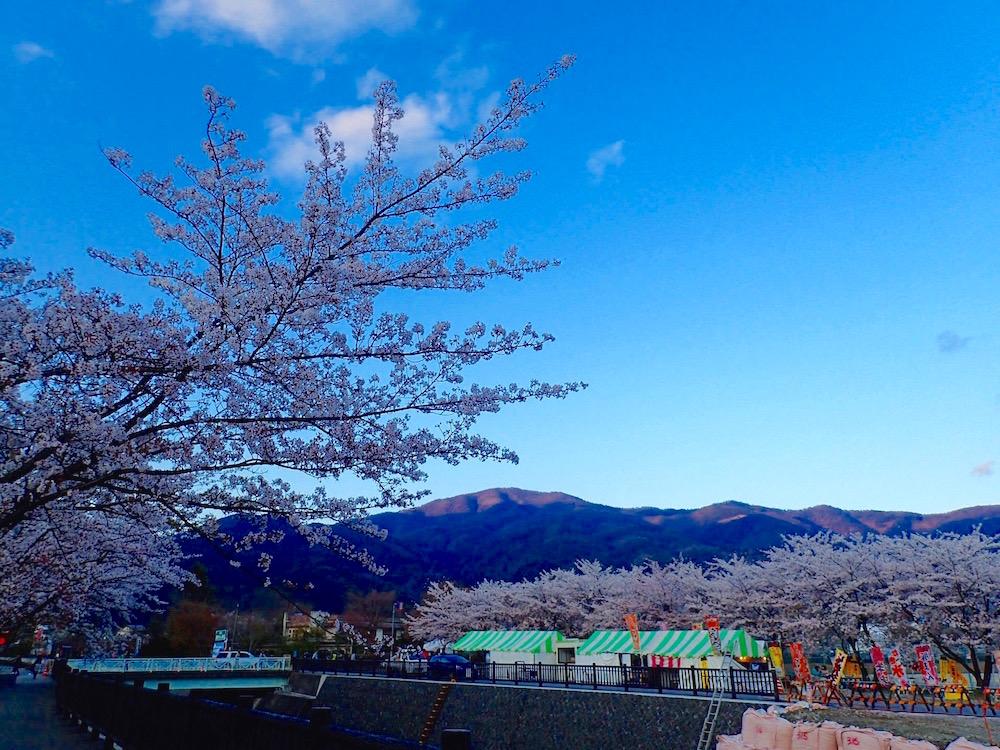 河口湖畔に咲く満開の桜並