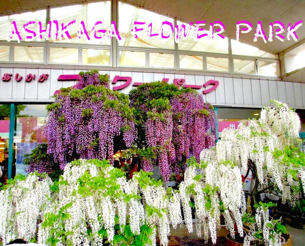 しあしかがフラワーパーク藤の���花