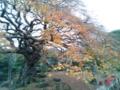 樹齢600年て凄いわ、