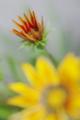 [花]つぼみ