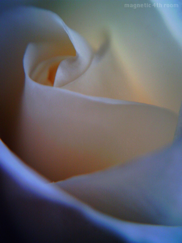 薔薇:アイスバーグ/VQ1005+クローズアップレンズ