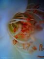[VQ1005]薔薇:アイスバーグ/VQ1005+クローズアップレンズ