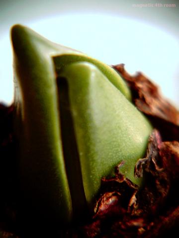 ヒヤシンスの芽/VQ1015+クローズアップレンズ