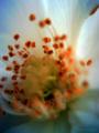 [VQ1005][ガーデニング]薔薇:サマースノー/VQ1005+クローズアップレンズ