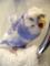 羽衣セキセイインコ/あくび