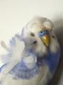 [インコ][Haiku]羽衣セキセイインコ