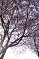 [旅]八重桜(女神湖近く)