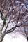 八重桜(女神湖近く)
