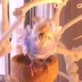[インコ][viddy][Haiku]羽衣セキセイインコ