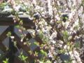 庭梅とアゲハ蝶